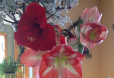 Amaryllis for Valentines!
