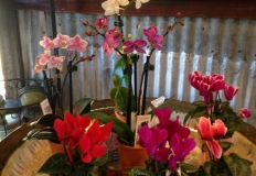 Mini Cyclamen and Orchids